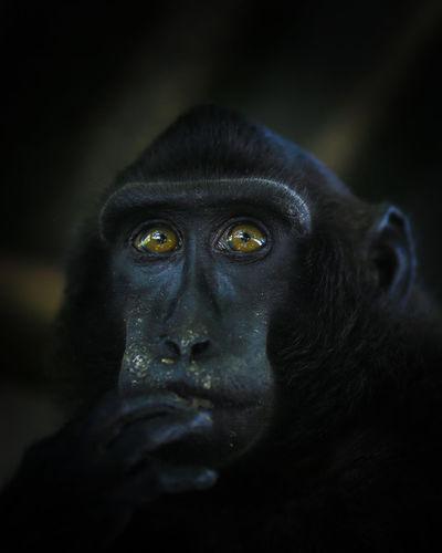 Portrait of black monkey sulawesi looking away