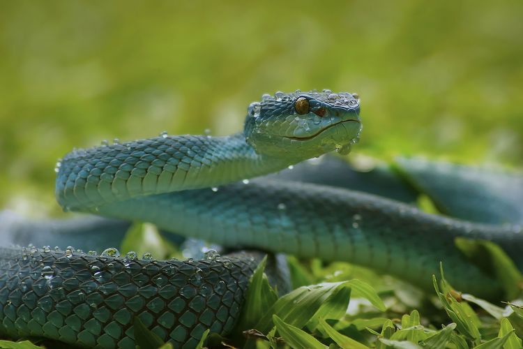 Close-up of wet snake on grass