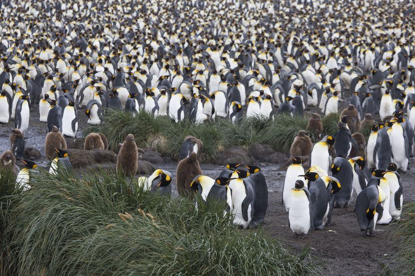 Large Group of Penguines at South Georgia Antarctica Falkland Islands South Georgia Adventure Animal Themes Animal Wildlife Animals In The Wild Beak Beauty In Nature Bird Colony Day King Penguins Large Group Of Animals Nature No People Outdoors Penguin Salisbury Plain Sea Life Togetherness Water Young Penguin