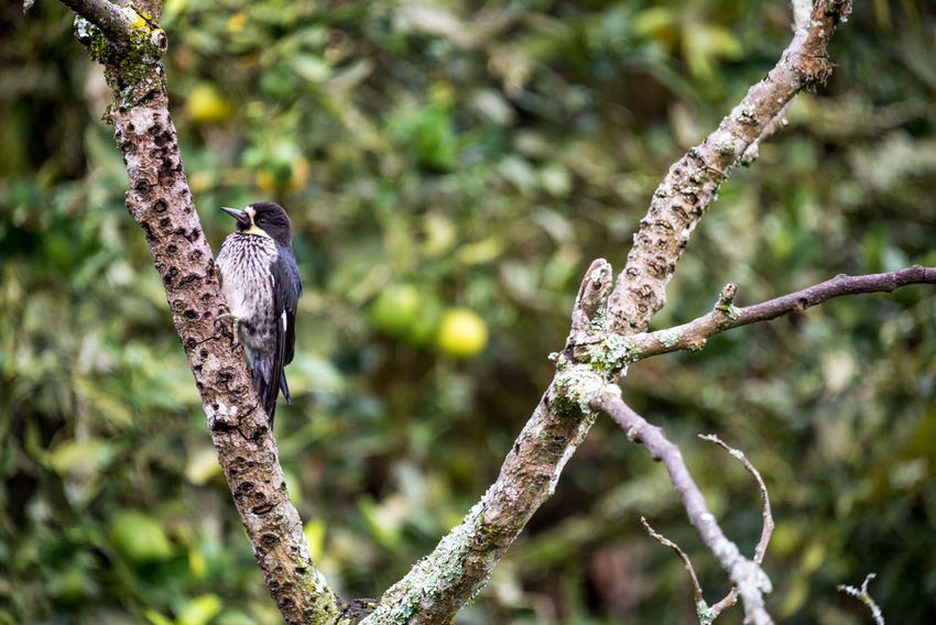 Eastern Kingbird in a tree near Manizales, Colombia Agriculture Colombia Farm Green Manizales Natural Nature Plant Sunny Tree Trees Bird Caldas Chinchina Eastern Forest Fruit Garden Kingbird Leaf Rainforest Ripe Sun Tree Tropical