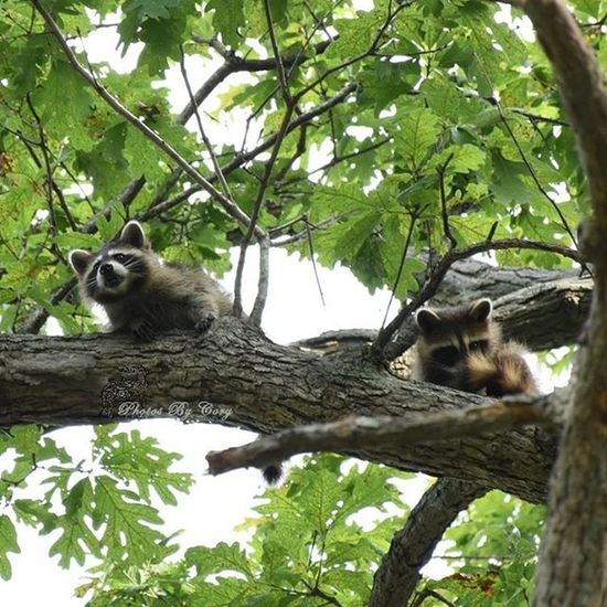 I was really hoping they'd come down and get some peanuts. But they just decided this was a good spot for a nap. Raccoon Animallover Wildlife Luckywiththeanimals