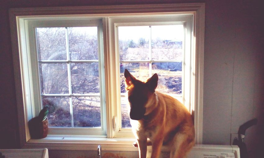 This crazy doggie still thinks she is a puppy and does her best to sit in the window and wait for her human mom. :-)