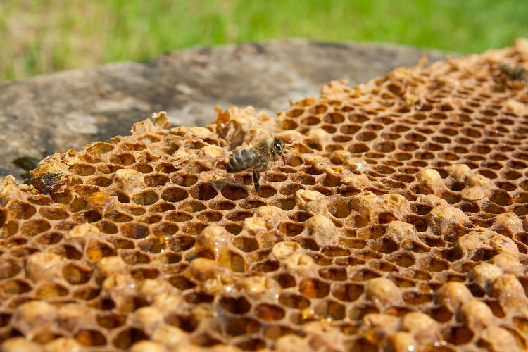 Animal Animal Themes Animal Wildlife Animals In The Wild APIculture Beauty In Nature Bee Beehive Close-up Day Honey Bee Honeycomb Insect Invertebrate Nature No People One Animal Outdoors Poisonous Selective Focus