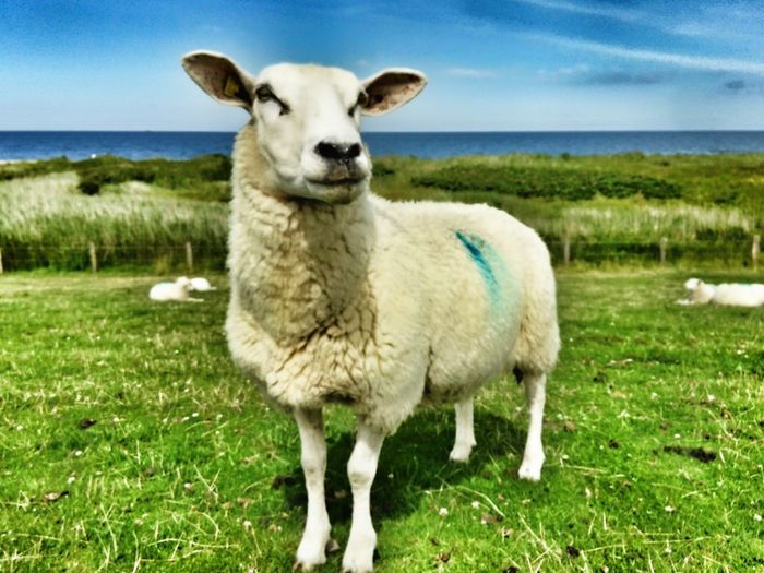 Grass Domestic Animals Looking At Camera Livestock Mammal Portrait Animal Themes One Animal No People Outdoors Day Sheep Standing Nature Sky Close-up