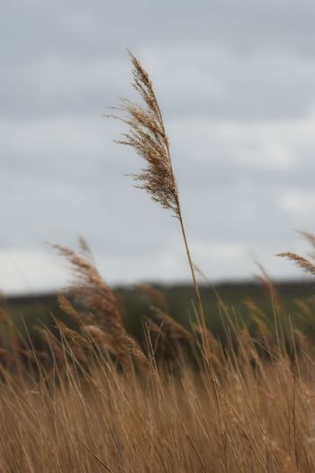 phragmites Nature Close-up No People Beauty In Nature Outdoors Rural Scene Reed - Grass Family Reed Reeds, Weeds, Marshland, Marsh, Sigma150-600c NikonD5500 Cereal Plant Wheat Growth Timothy Grass Day Ear Of Wheat Sky