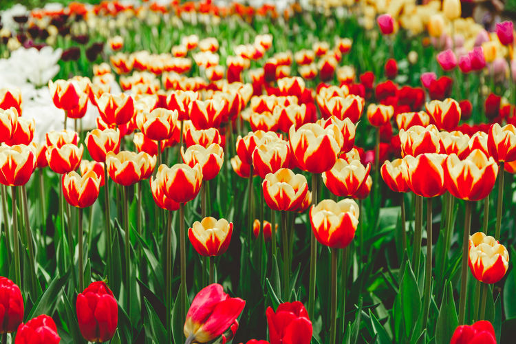 Flowering Plant Flower Plant Tulip Beauty In Nature Vulnerability  Fragility Freshness Red Growth Flower Head Petal Inflorescence Field Nature Close-up Day Land No People Botany Flowerbed Springtime Outdoors Gardening