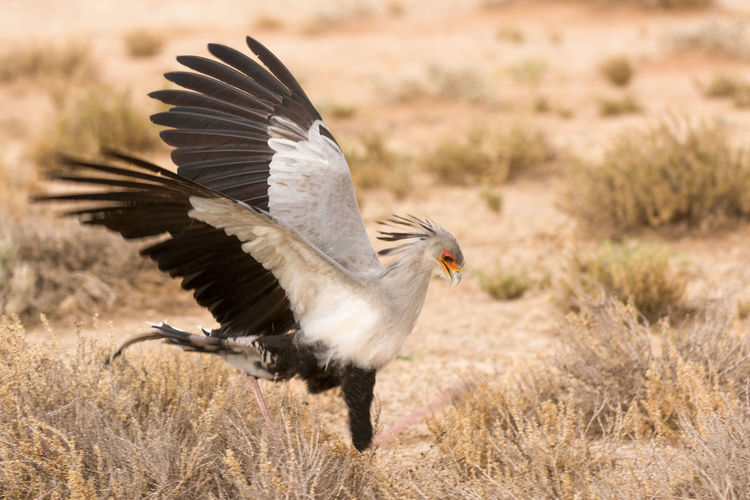 Bird Bird Of Prey Hunting No People No People, Secretary Bird Secretary Bird Hunting Secretarybird Wildlife Photography