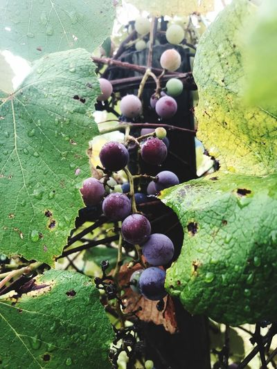 Grandpa's Grapes Concord Grapes Grapes Plant Growth Nature Green Color Day No People Close-up Beauty In Nature