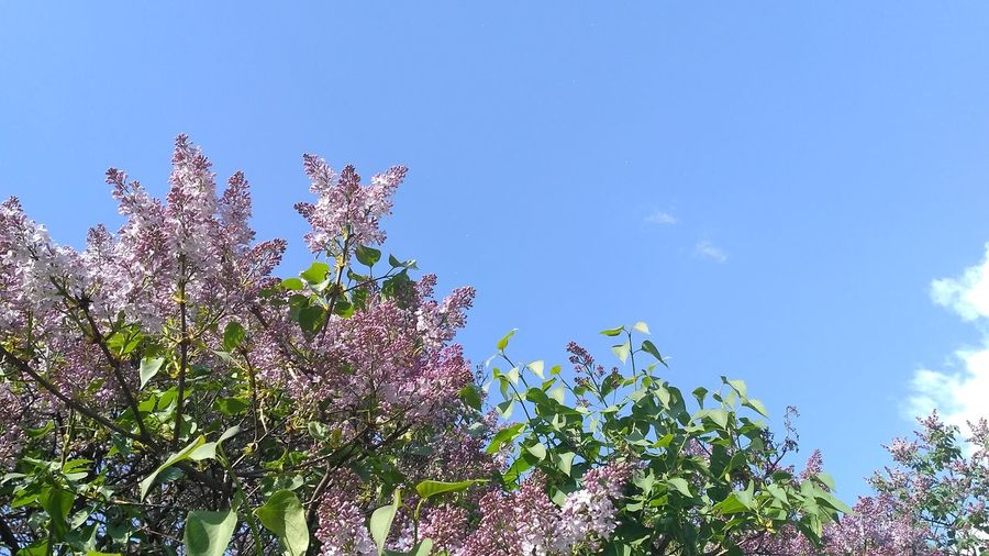 Nofilter No Filter Tree Flower Blue Branch Sky Plant Botany Blooming Plant Life In Bloom Lilac Blossom Flower Head