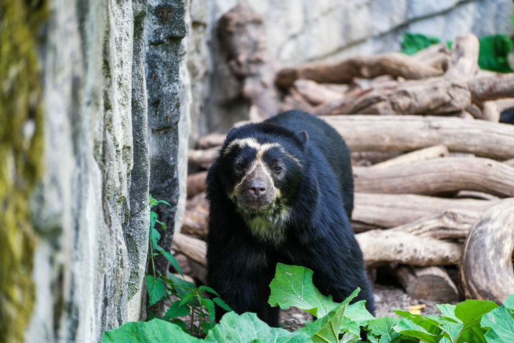Close-Up Of Spectacled Bear
