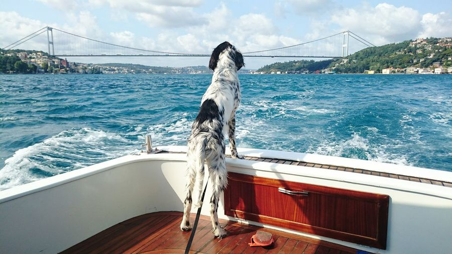 English setter on boat sailing in river against bosphorus bridge