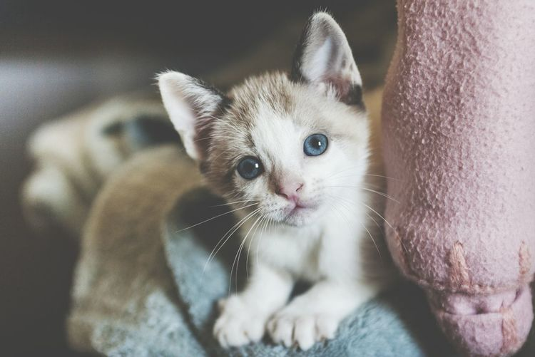 Domestic Room Young Animal Love Cat Cat Lovers Cats Of EyeEm Catoftheday Pet Portraits The Week On EyeEm EyeEmNewHere Close-up Kitten Whisker Cute Animal Themes Feline One Animal Looking At Camera Mammal Domestic Animals Domestic Cat Pets Portrait Sitting