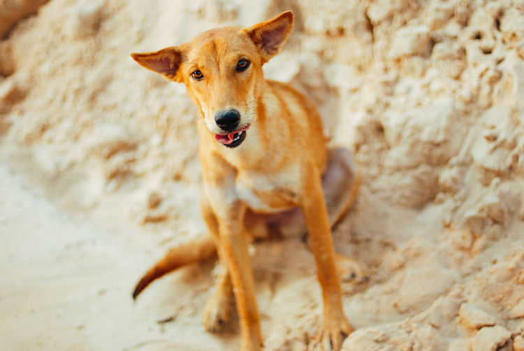 One Animal Mammal Domestic Animals Domestic Pets Dog Canine Portrait Looking At Camera Vertebrate No People Brown Standing Day Land Focus On Foreground High Angle View