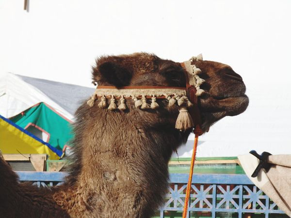 Medieval festival in Alhos Vedros - Portugal. Medieval Fair Dromedary Camel Animal Themes Animal Head  Furry Animals Animal Photography EyeEm Gallery EyeEm Best Shots Medieval Festival Medieval Market Hoofed Mammal Herbivorous Close-up Zoology Mammal Animal Domestic Animals Part Of Taking Photos