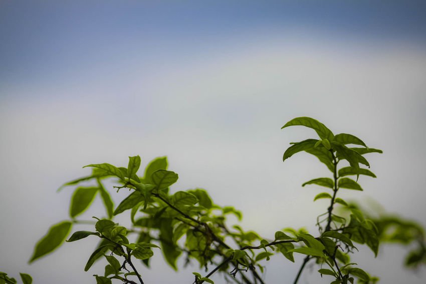 Beauty In Nature Close-up Copy Space Day Focus On Foreground Fragility Freshness Green Color Growth Leaf Leaves Low Angle View Nature No People Outdoors Plant Plant Part RainDrop Selective Focus Sky Tranquility