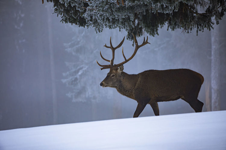 Deer standing on snow covered field in forest during winter