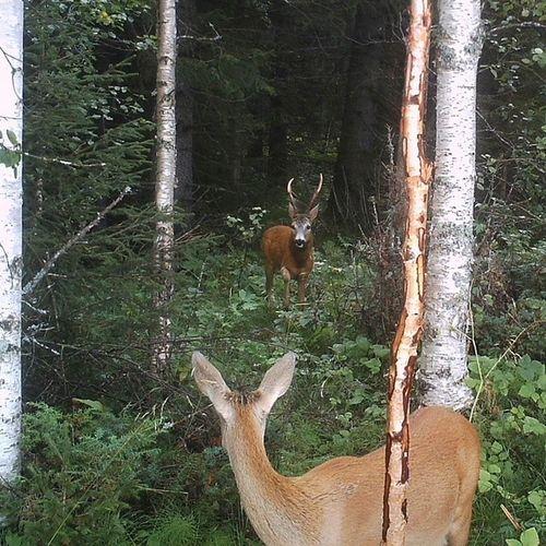 The boss and a doe. Roedeer Roebuck Antlers Bigbuck Nofilter Trailcam Myamazingbackyard Oviken