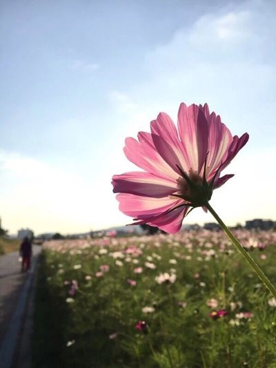 Flower Nature Beauty In Nature Fragility Petal Sky Outdoors Pink Color Growth Flower Head Plant Freshness Cosmos Flower No People Day Close-up Blooming I Want To Know Your Secret, C I Always Thinking About U, G Thank You,❤️ 감사합니다