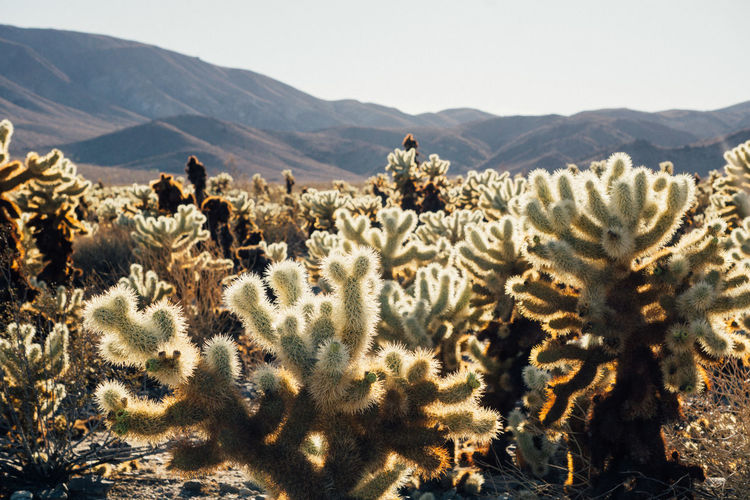 Cactus growing on field against sky during sunny day at joshua tree national park