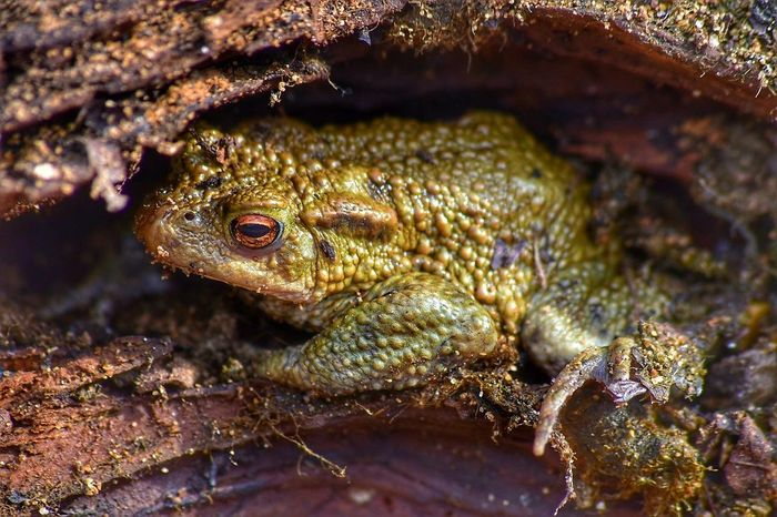 male common toad One Animal Animals In The Wild Animal Wildlife Toad Common Toad Bufo Bufo Amphibian Wildlife Photography British Wildlife Closeupphotography Closeup In Nature