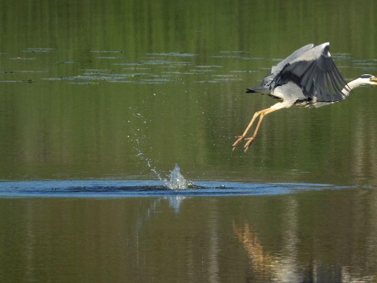 Heron Oiseaux Birds Water Peche Animaux étang Nature France🇫🇷