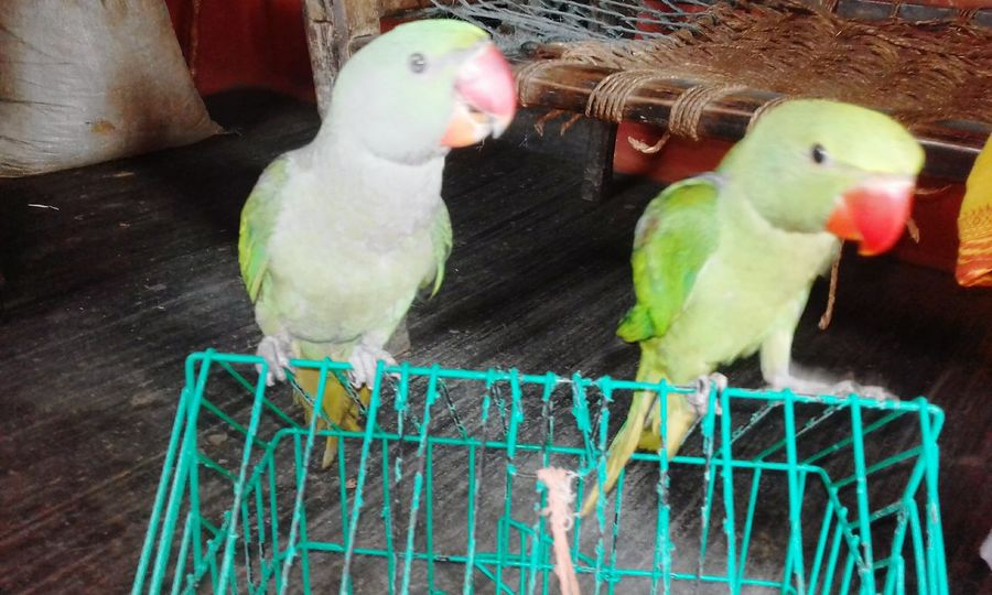 Parrot in Pair Bird Perching Parrot Pets Cage Budgerigar Trapped Animals In Captivity Birdcage