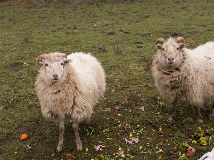 Two sheep with thick winter fur stand in the rain in the pasture and look at me expectantly Animal Animal Themes Livestock Mammal Domestic Animals Group Of Animals Domestic Grass Two Animals Land Sheep Pets Nature Field Plant Day Herbivorous Fur Thick White Pasture Meadow Looking At Camera Countryside Agriculture