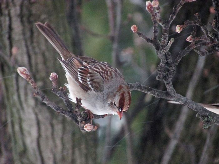 Bird Animals In The Wild Nature Focus On Foreground One Animal No People Animal Wildlife Animal Themes Perching Tree Outdoors Day Close-up Branch Beauty In Nature Sparrow