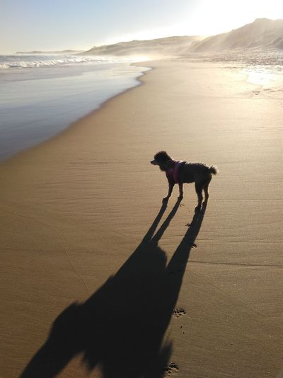 Silhouette dog standing on beach against sky during sunset