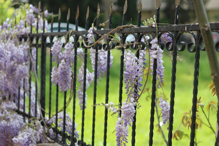 Purple Flowers Flower Hanging Close-up Barbed Wire Blooming Padlock Lavender Colored Plant Life Wind Chime Wisteria Love Lock Vine Vineyard Hope Winemaking Red Grape Faith Grape Vine - Plant Chainlink Fence Lavender Latch Winery Chainlink Wine Cellar Tendril Bunch Lock Fence Razor Wire