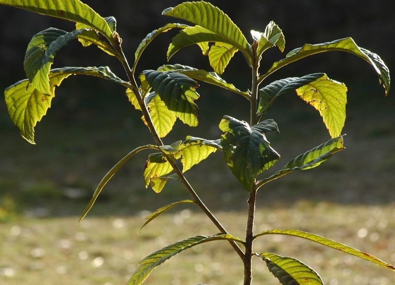 Branch Growing Medlar Nature New Life No People Outdoors Plant Tree