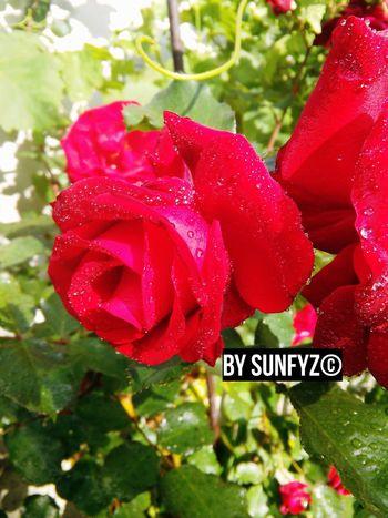 Flowers From My Garden Roses Flowers,Plants & Garden Flowers_collection EyeEm Best Shots - Flowers Flowerstagram The Great Outdoors - 2015 EyeEm Awards Mine SO PROUD OF MYSELF ! ❤ Rain Drops