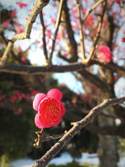 Spring Comes Springc Plum Blossom Flower Pink Color Nature Petal Growth Fragility Beauty In Nature Close-up Flower Head Blooming