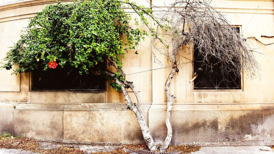Window Building Exterior Outdoors Growth Water Architecture Built Structure Nature Death Tree Hibiscus Nature Nature_collection Earth Savetheplanet Drought No People Growth The Week On EyeEm Mediterranean  Streetphotography Barcelona Mediterranean  Barcelona, Spain City