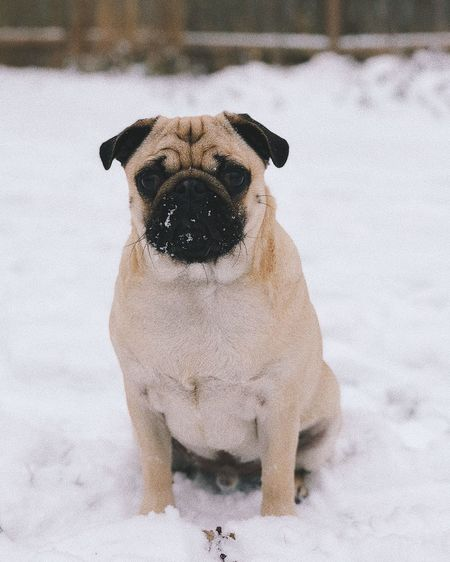 Portrait of dog during winter