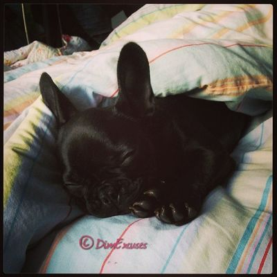 Still sleeping. AdventuresOfMolly Frenchbulldog