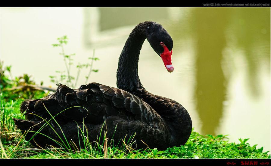 Black Swan @ Thailand. Animals Thailand_allshots Nature_collection EyeEm Nature Lover