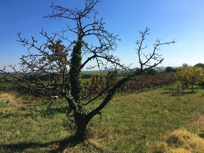 Dry tree in the vineyards Plant Tree Tranquility Sky Landscape Tranquil Scene Beauty In Nature Nature Branch