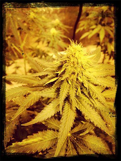 Oaksterdam Weed Pot Medicalgrowing