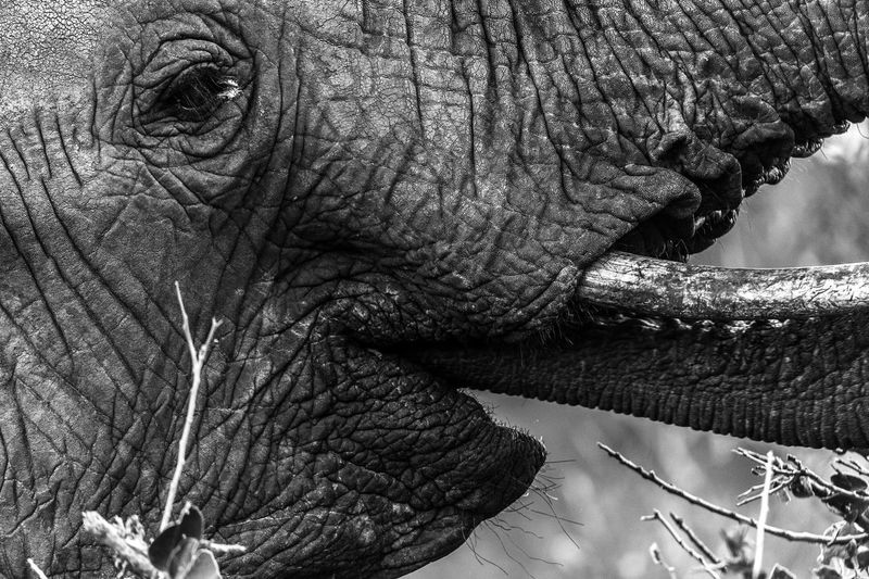 African Elephant Animal Body Part Animal Themes Animal Trunk Animal Wildlife Animals In The Wild Close-up Day Elephant Indian Elephant Mammal Nature No People One Animal Outdoors