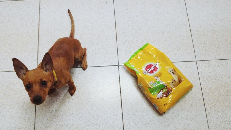 Time for American breakfast Pet Dog Lover Dog❤ Dog Life Doglovers Dogslife Doglover Dogs Pets Dog Dog Love Minature Pincher Minipinscher Mini Pincher