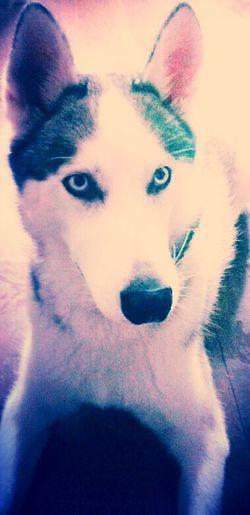 Husky Ben young love puppy face
