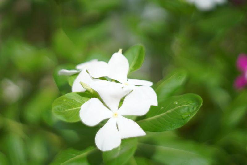 White Pangpuay
