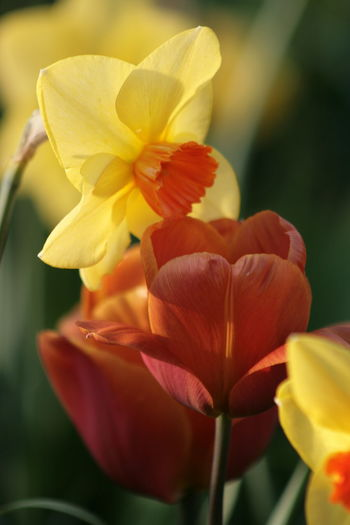 Beauty In Nature Close-up Color Match In Nature Daffodils And Tulips Flower Flower Head Petal Together