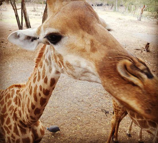 One Animal Animals In The Wild Giraffe♥ Animal Markings Animal Themes Mammal Day Animal Head  No People Giraffe Outdoors Sand Animal Wildlife Close-up Safari Animals Domestic Animals Nature