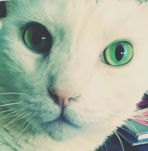 Hello World Green Green Green!  Green Cat Eyes Cat Lovers I Love My Cat ❤ White Cats