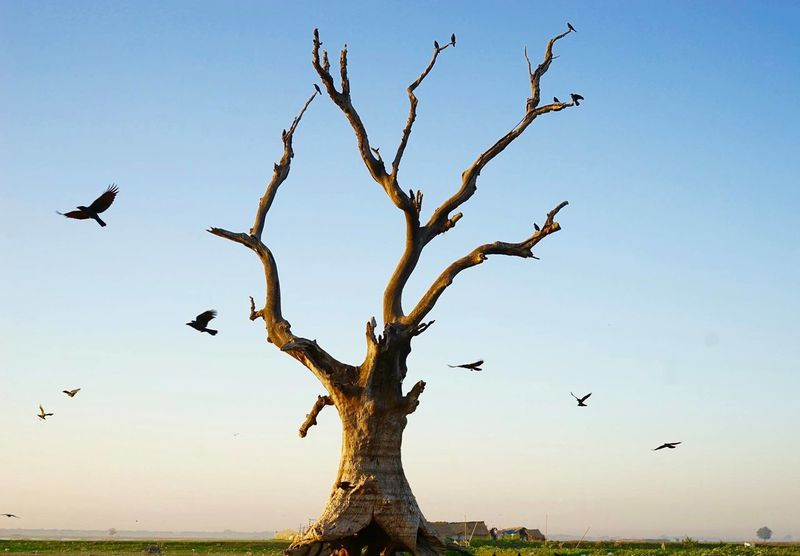A bald tree with its craw protectors in the Mandalay morning. Animal Themes Animal Wildlife Animals In The Wild Bald Baldness Bare Bird Burma Burmese Craw Day Die Dry Flying Limb Myanmar Nature No People Outdoors Sky Sunset Surise Tree Wither