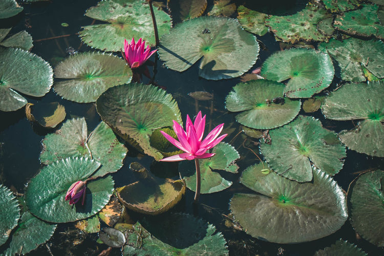 High angle view of pink water lily in lake
