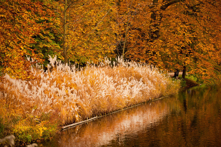 Miscanthus ornamental grass growing in garden with pond, golden colors of autumn on leaves and trees in reflections on the water. Photo taken in Poland. Autumn Cane Clump Coastal Decorative Fall Garden Grass Grasses Lake Leaves Miscanthus Nature No People Ornamental Outdoors Park Plant Paint The Town Yellow Poland Pond Scenics Tranquility Tree Water