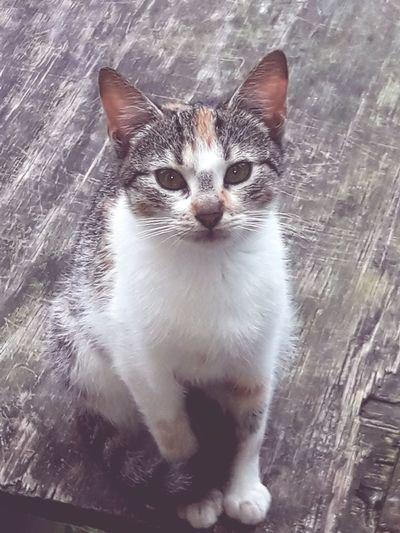 Portrait Feline Domestic Cat Kitten Whisker Close-up Cat